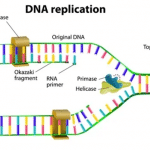 Processes & Steps of DNA Replication