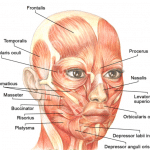 What is the Frontalis Muscle? – Definition & Function