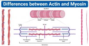 Actin vs Myosin- Definition, Examples